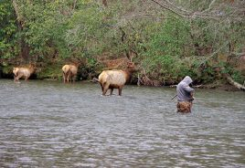 Elk in river with fisherman