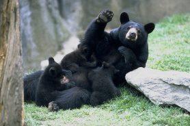 Bears on Grandfather Mountain